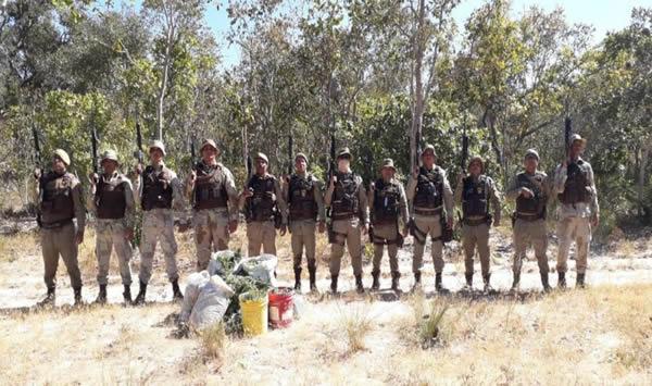 Cinco mil pés de maconha são erradicados pela PM na Bahia foto 1