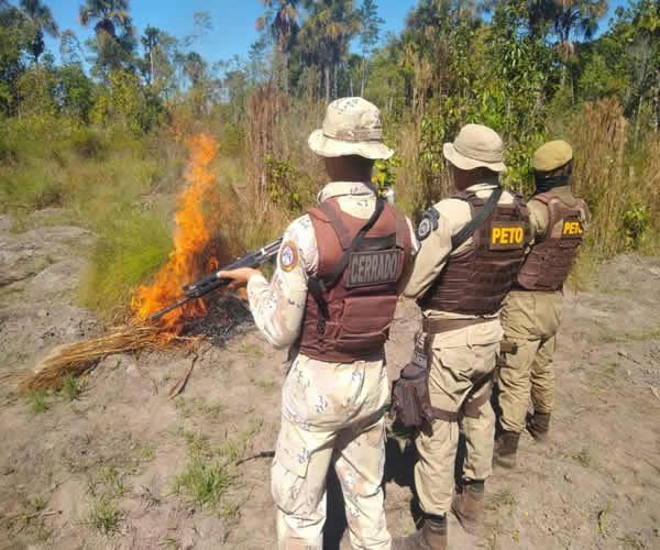 Cinco mil pés de maconha são erradicados pela PM na Bahia