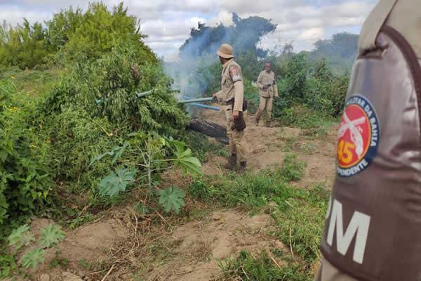 PM erradica mais de 12 mil pés de maconha em Curaçá – BA