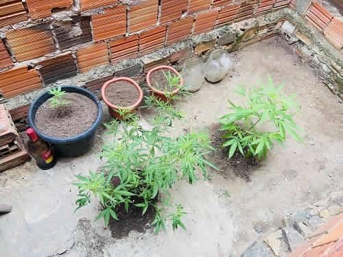 Jovem é detido por cultivar maconha em quintal de casa em Ipiaú – BA